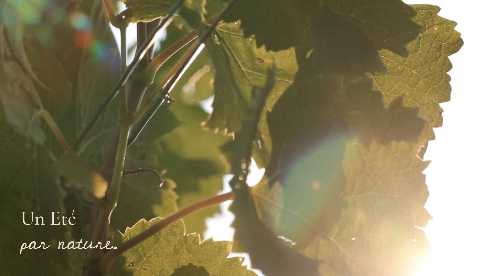 Massal selection and the preservation of our viticultural heritage - Chateau Pedesclaux