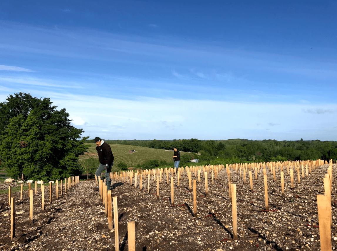 La sélection massale et la préservation du patrimoine viticole - Chateau Pedesclaux