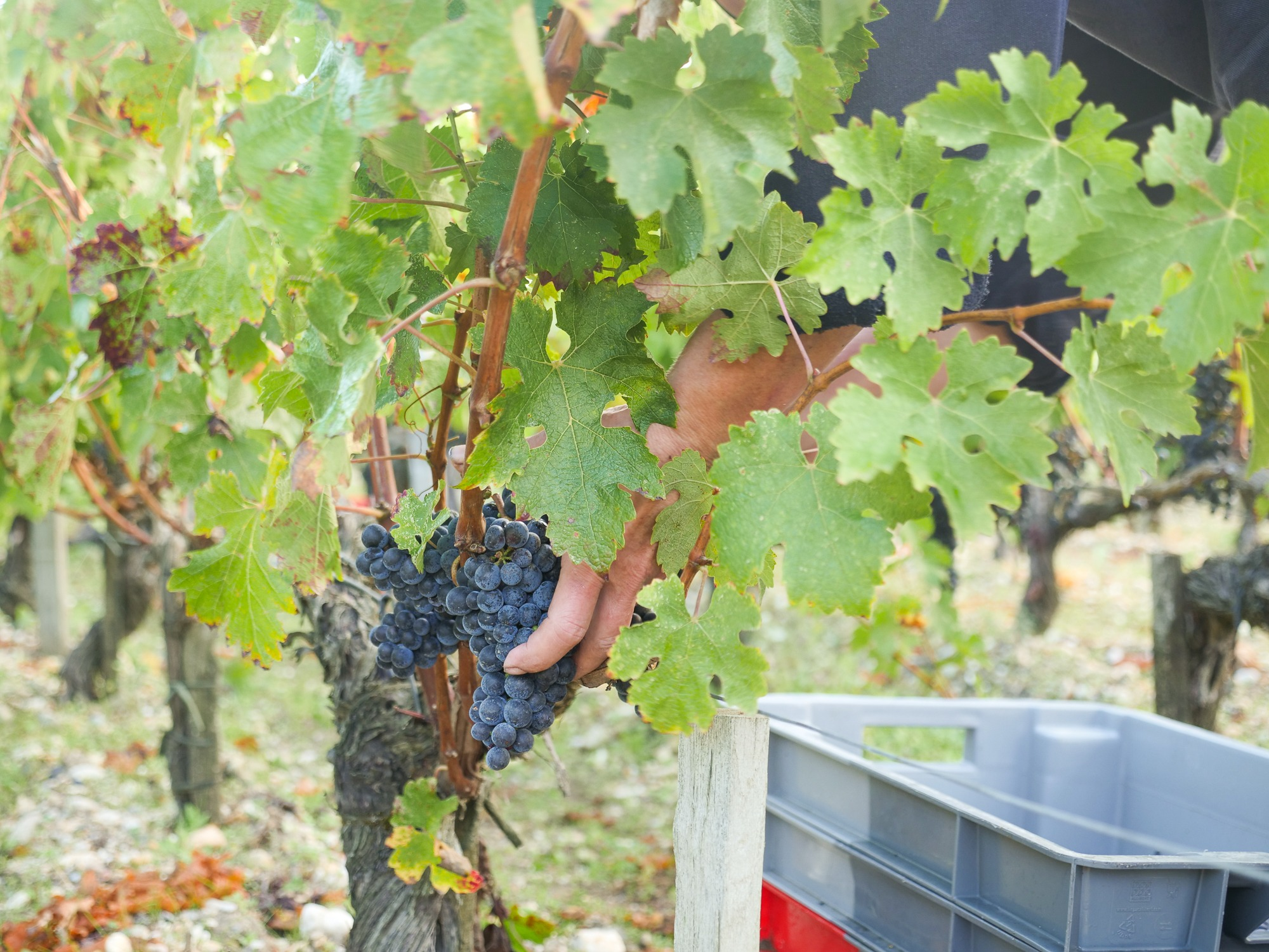 Can Viticulture Offer A Solution for Marginalised People? - Chateau Pedesclaux